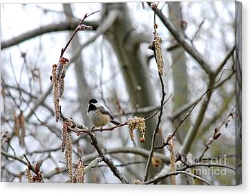 Canvas Print featuring the photograph Black-capped Chickadee 20120321_39b by Tina Hopkins