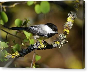 Black-capped Chickadee Canvas Print by Ben Upham III