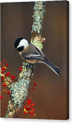 Black-capped Chickadee Bird On Tree Canvas Print