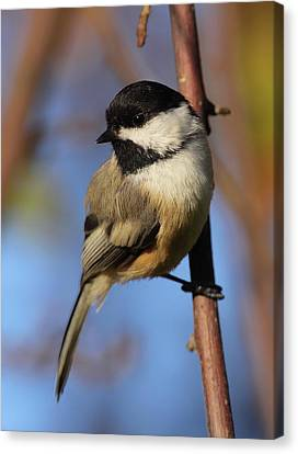 Black-capped Chickadee Canvas Print