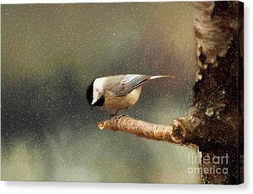 Canvas Print featuring the photograph Black Capped Chickadee by Darren Fisher