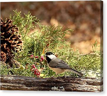 Canvas Print featuring the photograph Black-capped Chickadee In Winter by Sheila Brown