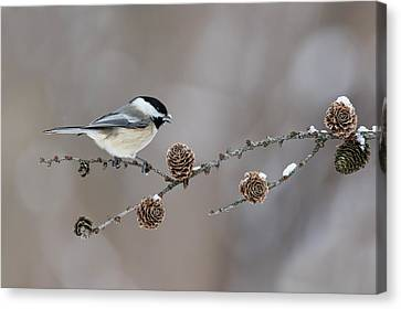 Canvas Print featuring the photograph Black-capped Chickadee by Mircea Costina Photography