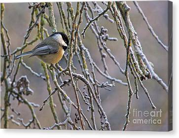 Black-capped Chickadee Canvas Print by Sean Griffin