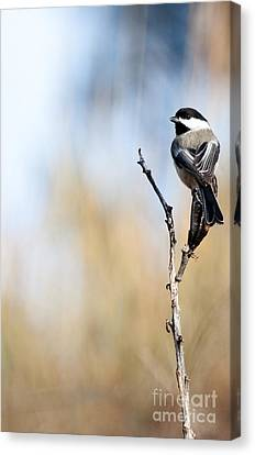 Black-capped Chickadee Canvas Print by Shevin Childers