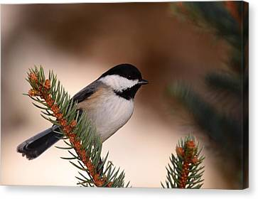 Black-capped Cickadee II Canvas Print