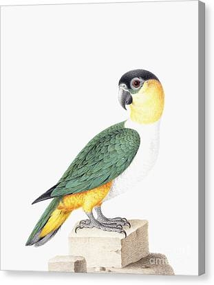 Yellow Beak Canvas Print - Black Capped Parrot by Nicolas Robert