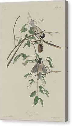 Black-capped Titmouse Canvas Print by Rob Dreyer