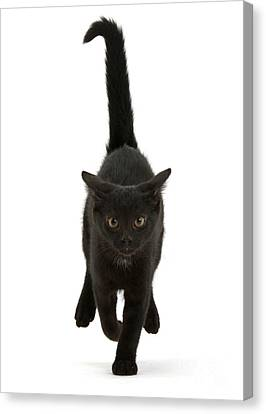 Black Cat On The Run Canvas Print