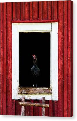 Black Chicken Canvas Print