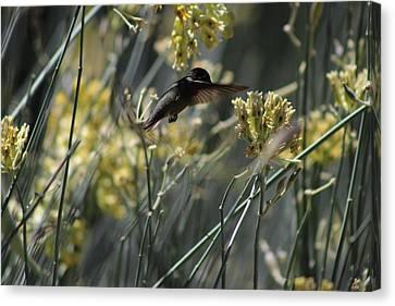 Black Chinned Hummingbird In Garden Canvas Print by Colleen Cornelius
