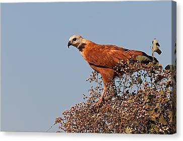 Black-collared Hawk, Pantanal Canvas Print