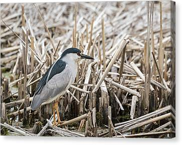 Black-crowned Night Heron 2017-1 Canvas Print by Thomas Young
