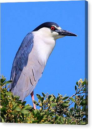 Black Crowned Night Heron Atop Tree Canvas Print by Wingsdomain Art and Photography