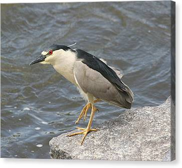 Canvas Print featuring the photograph Black-crowned Night Heron by Doris Potter