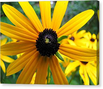 Canvas Print featuring the photograph Black-eyed Susan And A Traveler by Lori Miller