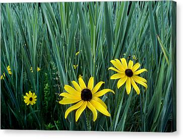 Black Eyed Susan And Tall Grass Canvas Print by Tony Ramos