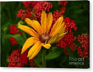 Black-eyed Susan And Yarrow Canvas Print by Steve Augustin