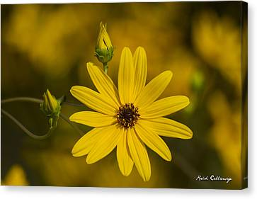 Almost Perfect Black-eyed Susan Flower Canvas Print by Reid Callaway
