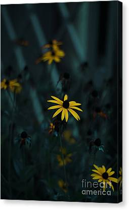 Black Eyed Susan Canvas Print by Jasna Buncic