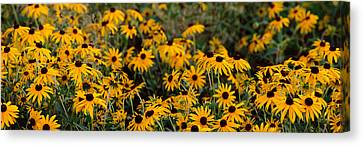 Black-eyed Susan Rudbeckia Hirta Canvas Print by Panoramic Images