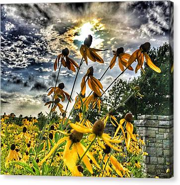 Canvas Print featuring the photograph Black Eyed Susan by Sumoflam Photography