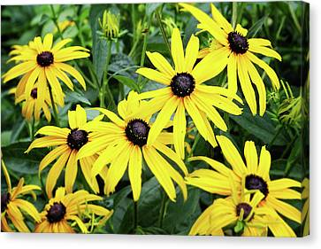 Black Eyed Susans- Fine Art Photograph By Linda Woods Canvas Print by Linda Woods