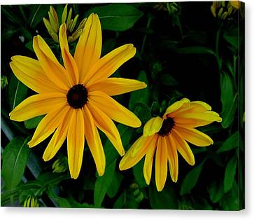 Black-eyed Susans Canvas Print by Robert Knight