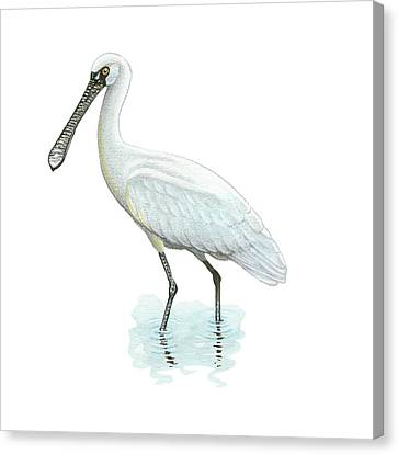 Black-faced Spoonbill Canvas Print by Lionel Portier