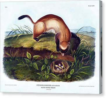 Black-footed Ferret Canvas Print - Black Footed Ferret Antique Print Audubon Quadrupeds Of North America Plate 93 by Orchard Arts