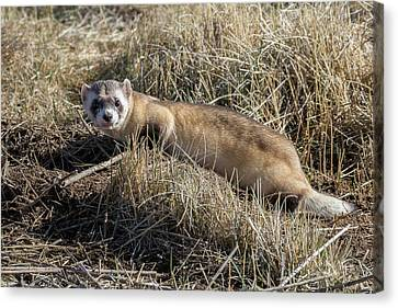 Black-footed Ferret On The Prowl Canvas Print by Tony Hake