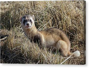 Black-footed Ferret Poses Canvas Print by Tony Hake