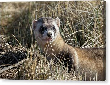 Black-footed Ferret Up Close Canvas Print by Tony Hake