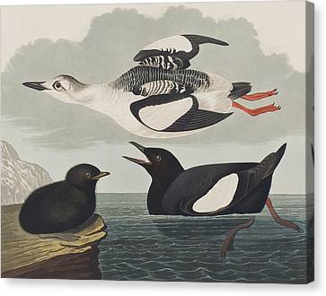 Black Guillemot Canvas Print by John James Audubon