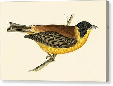 Black Headed Bunting Canvas Print