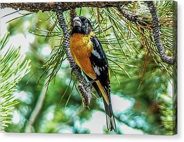 Black-headed Grosbeak On Pine Tree Canvas Print