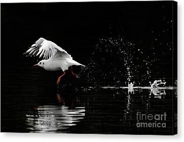 Black-headed Gull - Low Key Canvas Print