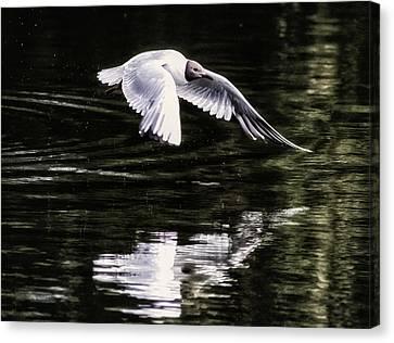 Black Headed Gull Canvas Print by Martin Newman