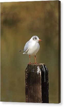Black-headed Gull On A Fence Post Canvas Print by Rod Johnson