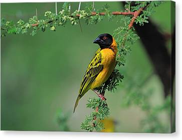 Black-headed Weaver Canvas Print by Tony Beck