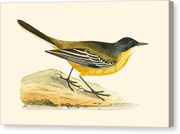 Black Headed Yellow Wagtail Canvas Print by English School