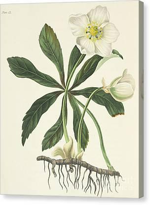Black Hellebore Or Christmas Rose Canvas Print