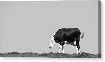 Hereford Canvas Print - Black Hereford by Wim Lanclus