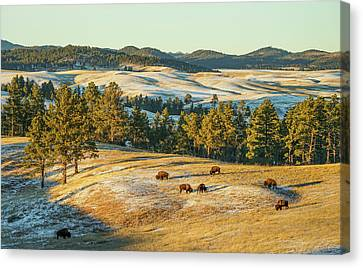 Black Hills Bison Before Sunset Canvas Print by Bill Gabbert
