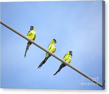 Canvas Print featuring the photograph Black Hooded Parakeet Trio by Terri Mills