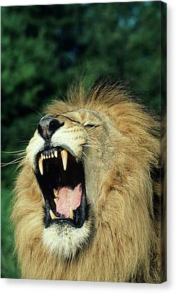 Animal Body Part Canvas Print - Black-maned Male African Lion Yawning, Headshot, Africa by Tom Brakefield