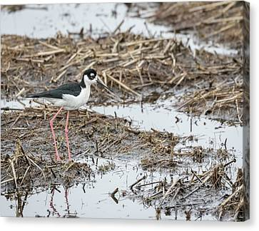 Black-necked Stilt 2017-1 Canvas Print by Thomas Young