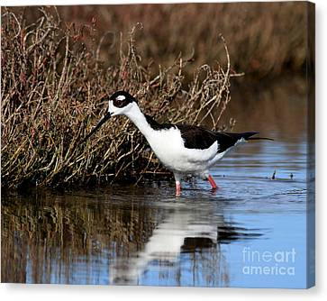Black Necked Stilt . 5002 Canvas Print by Wingsdomain Art and Photography