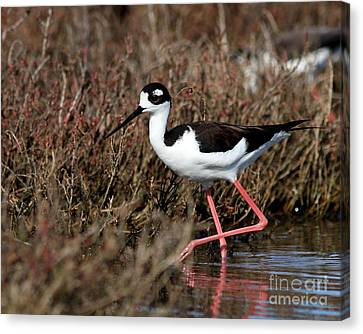 Black Necked Stilt . 7d4999 Canvas Print by Wingsdomain Art and Photography