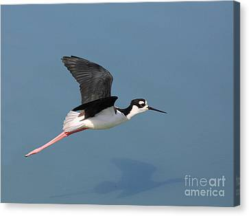 Black Necked Stilt In Flight Canvas Print by Wingsdomain Art and Photography